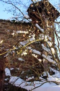 """Die rosa Blüten des sog. """"Winter-Schneeballs"""", die immer in der Weihnachtszeit (oder zuweilen sogar noch früher) erscheinen und uns auf der Gamburg im tiefsten Winter einen Hauch von Frühling und Ostern bescheren."""